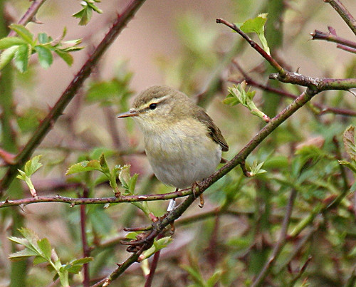 Willow Warbler Phylloscopus trochilus Tophill Low NR, East Yorkshire May 2013