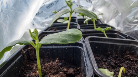 Young gherkin plants
