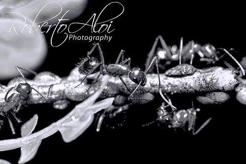 Ants tending to Scale Insects by Roberto_Aloi