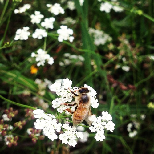 Edited Honey bee on Queen Anne's Lace