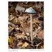 Shaggy Mane (Coprinus comatus) 24 hours later