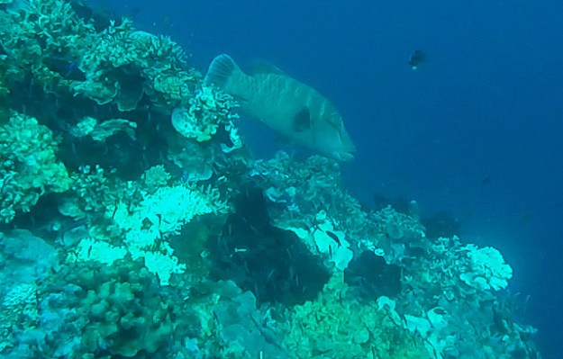 Napoleon wrasse. Diving Una Una