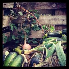 Les mûres du compost