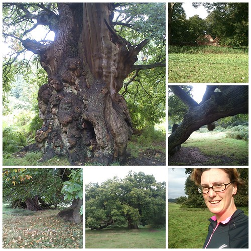 Calke Abbey - Veteran oaks (and runner)