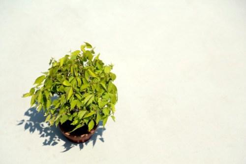 Bonsai kaede (maple)