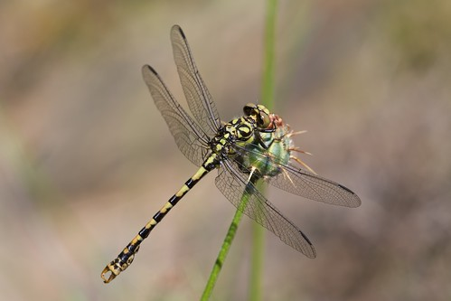 Onychogomphus forcipatus Small Pincertail
