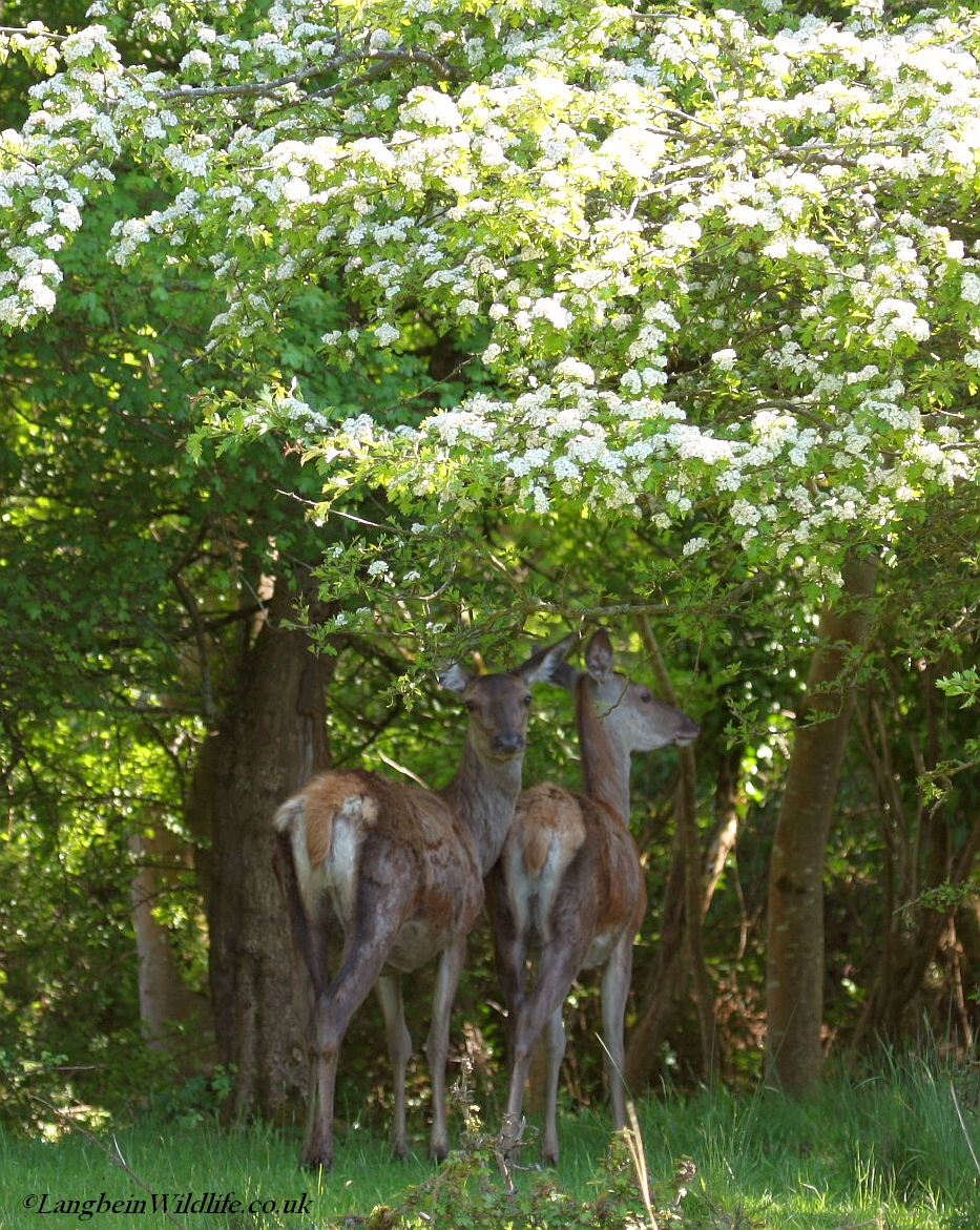 Red Deer seeking shade