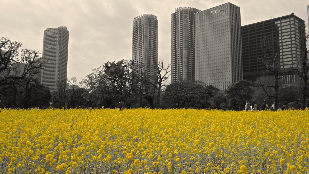 Yellow Carpet of rapeseed blossoms at Hamarikyu Gardens