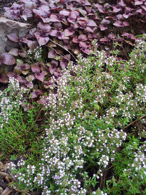 Thyme and Purple Perilla