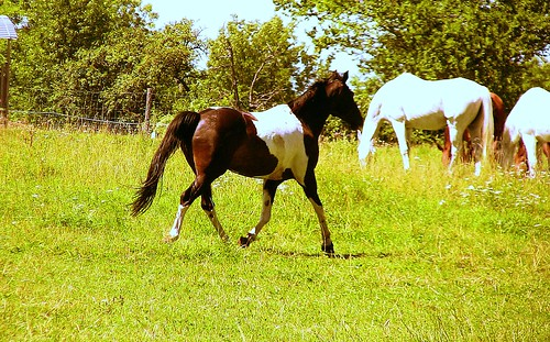 Pferde auf der Solitude , Galopp , 68-83