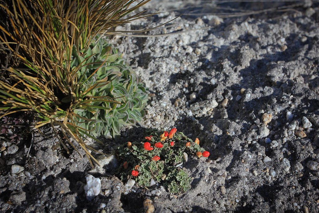 Last patches of flora at 5000m altitude. Huascaran National Park. Cordillera Blanca. Peru.