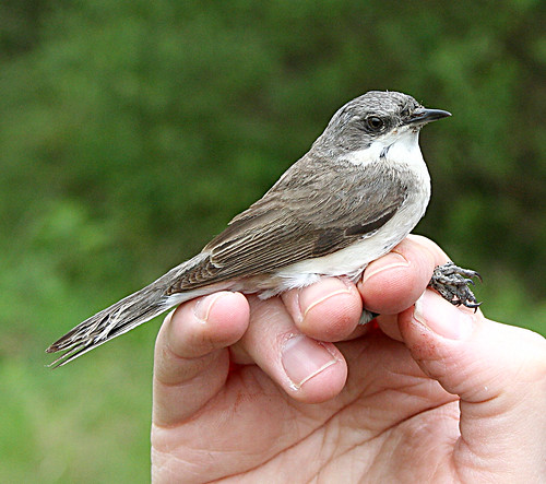 Lesser Whitethroat Sylvia curruca Tophill Low NR, East Yorkshire May 2013