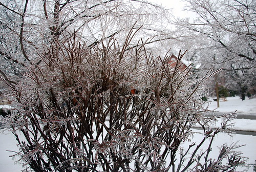 Ice Storm burning bush