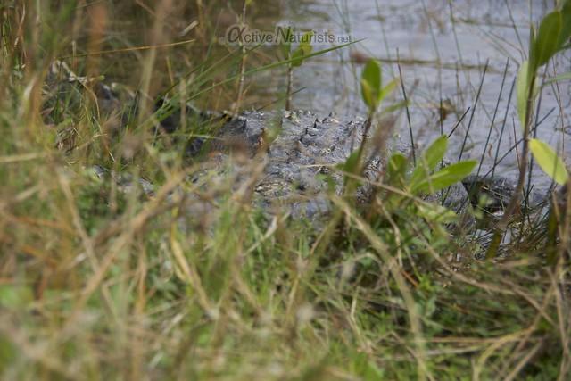 alligator 0003 Everglades, Florida, USA