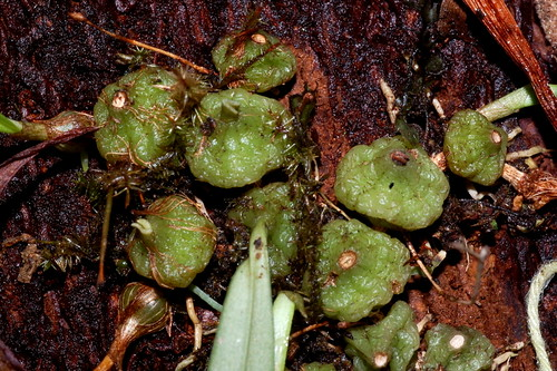 Adelopetalum lageniforme Orchidaceae DSC_0247 (23)