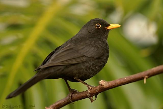 Melro-preto | Turdus merula | Common blackbird