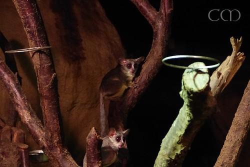 Senegal Bushbaies (Senegal Galagos)