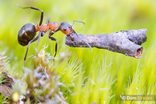 Wood ant carrying twig