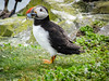 Puffin with sand eels (3)