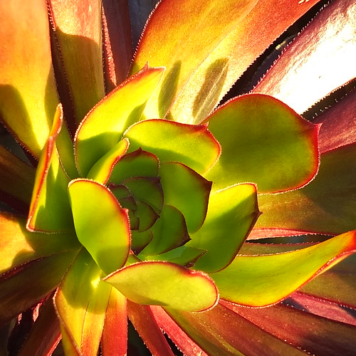 Sunloving Succulent by Patricia Manhire