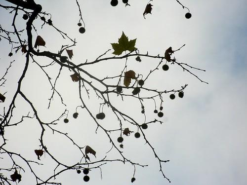 Platane im November