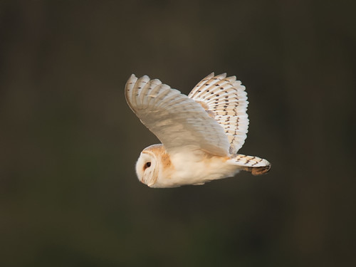 Barn Owl-Spring evening