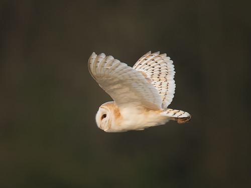 Barn Owl-Spring evening