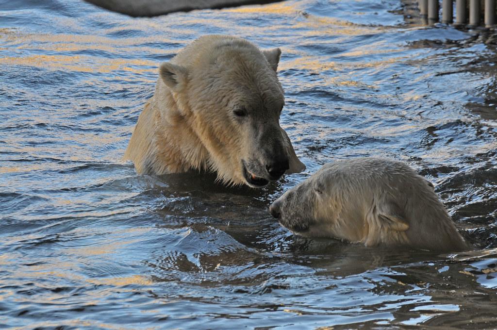 Eisbären Lloyd und Valeska  im Zoo am Meer in Bremerhaven