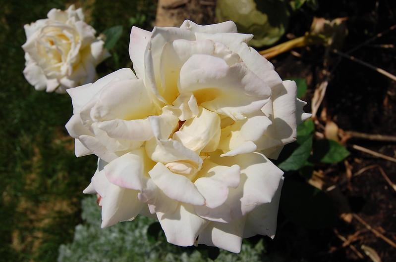Roses 3013 (5)