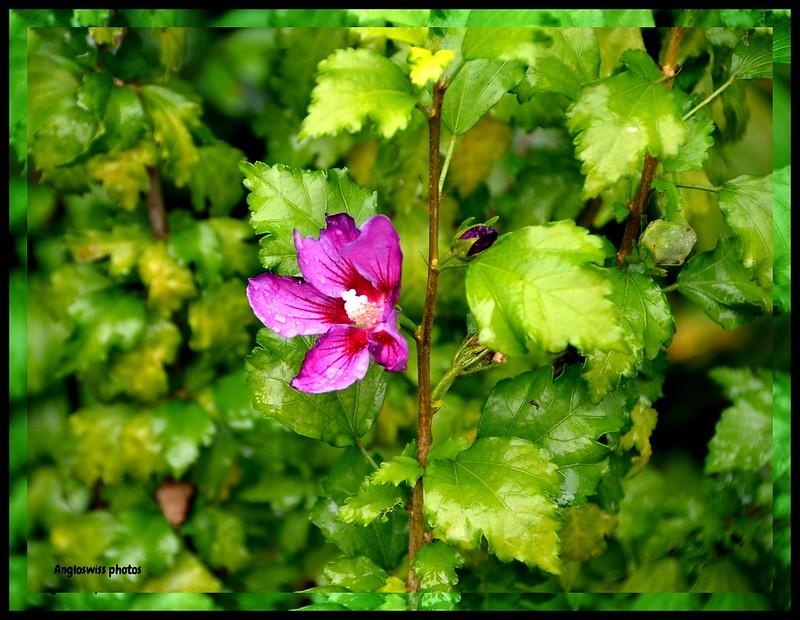 The last summer hibiscus 2013