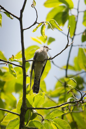 Large Hawk Cuckoo