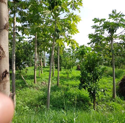 forage crops inter cropped with fruit trees (Photo:ILRI\Mesfin Tefera)