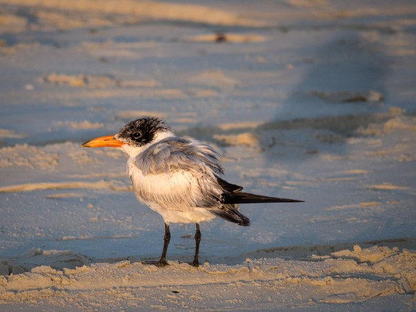 Caspian Tern and shadow