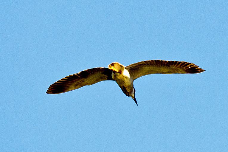 _DSC0783 Black-crowned Nifgt Heron