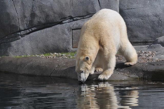 Eisbärin Noel im København Zoo