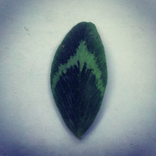 Red Clover leaf, as evident by the angle (>90°) on the veins from the centre stem