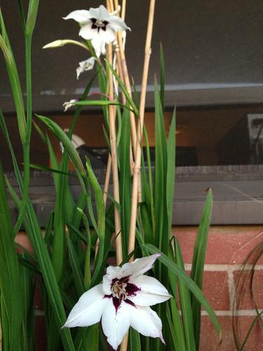 Lucky Star Gladiolus