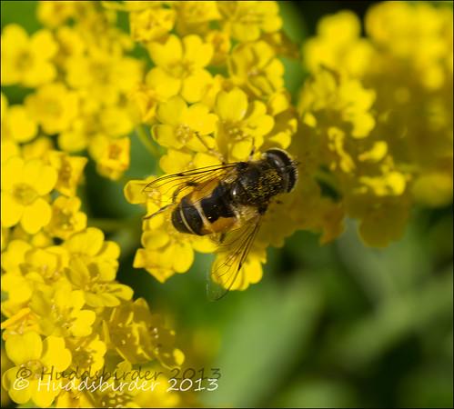 Hoverfly Eristalis Arbustorum