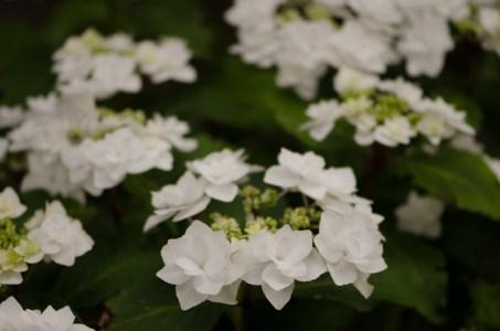 Double White Flowering Hydrangea Blossom