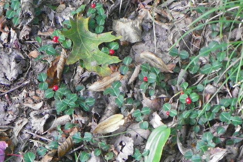 Partridge Berry (Mitchella repens)