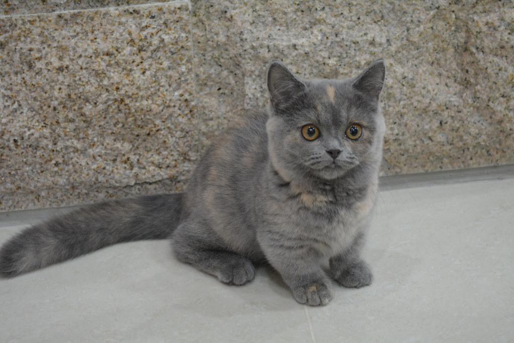 【貓咪小百科】曼赤肯貓 @ Touch Cat貓的世界 :: 痞客邦