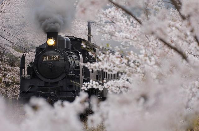 Oigawa Railway - C11-227 & Cherry blossoms