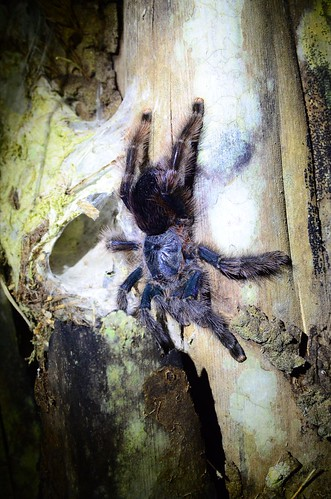 Tarantula - our next door neighbour