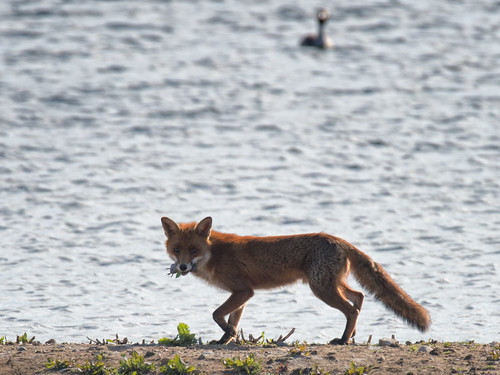 Fox returning to its den