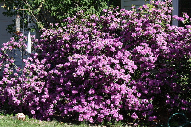 full bloom rhodo-azaleas