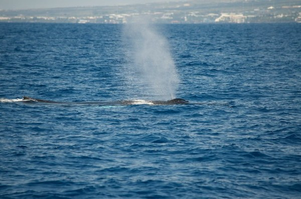 Snorkel and Whale Watch with Body Glove Cruises
