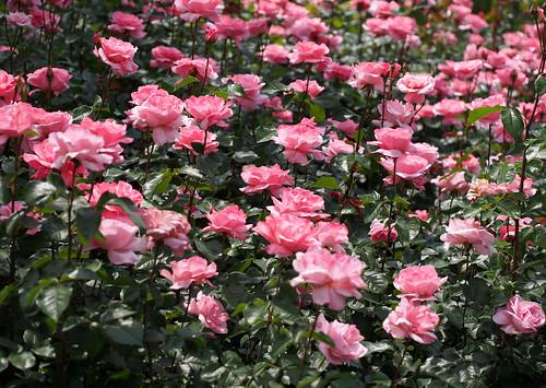 Rose, Queen Elizabeth, バラ, クイーン エリザベス,