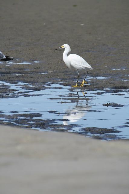snowy egret 4