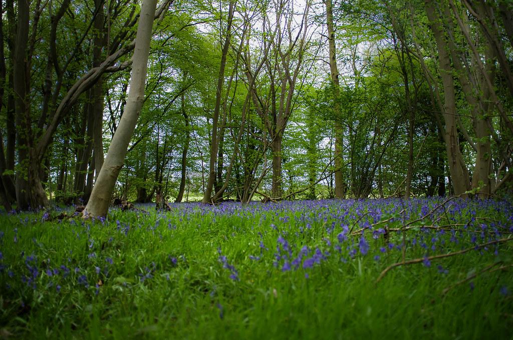 Reydon Woods - Bluebells