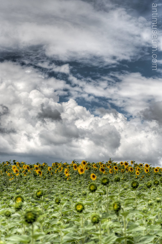sunflower HDR - Landscape